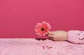 oříznutý pohled na ženu držící gerberu s okvětními lístky na sametové látce izolované na růžové, dívčí koncepci