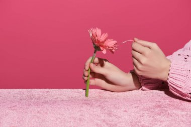 Cropped view of woman picking out gerbera petals on velour cloth isolated on pink, girlish concept stock vector