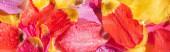Fényképek felső kilátás világos tulipán szirmok vízcseppek, panorámás lövés