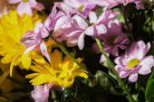close up view of fresh violet and yellow daisies with water drops