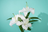 white lilies with green leaves on turquoise background