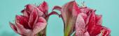 zblízka pohled na červené lilie na tyrkysové, panoramatický záběr