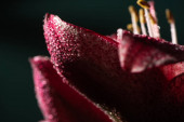 close up view of red lily flower with water drops isolated on black