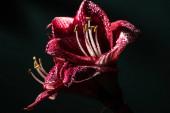 červené lilie květiny s kapkami vody izolované na černé