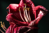 close up view of red lily flowers with water drops isolated on black