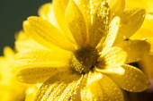 zblízka pohled na žluté sedmikrásky s kapkami vody