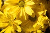 mokré čerstvé žluté sedmikrásky s kapkami vody