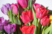 bouquet of colorful spring tulips with water drops on white background