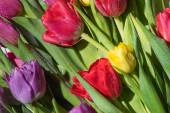 Fotografie bouquet of colorful spring tulips with water drops