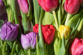csokor színes tavaszi tulipán vízcseppekkel