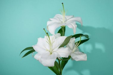 White lilies with green leaves on turquoise background stock vector
