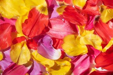 Top view of multicolored tulip petals stock vector