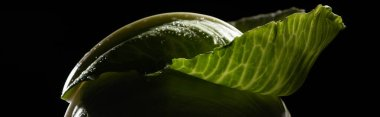 Close up view of wet green cabbage leaf isolated on black, panoramic shot stock vector