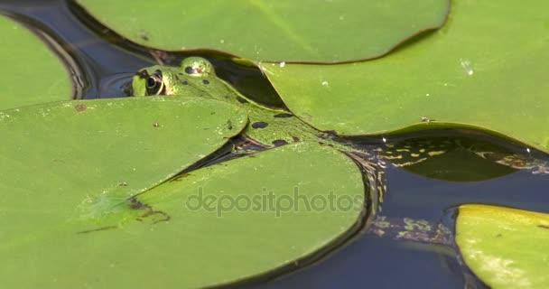 Žába se rozléhá do jezírka s lekníny