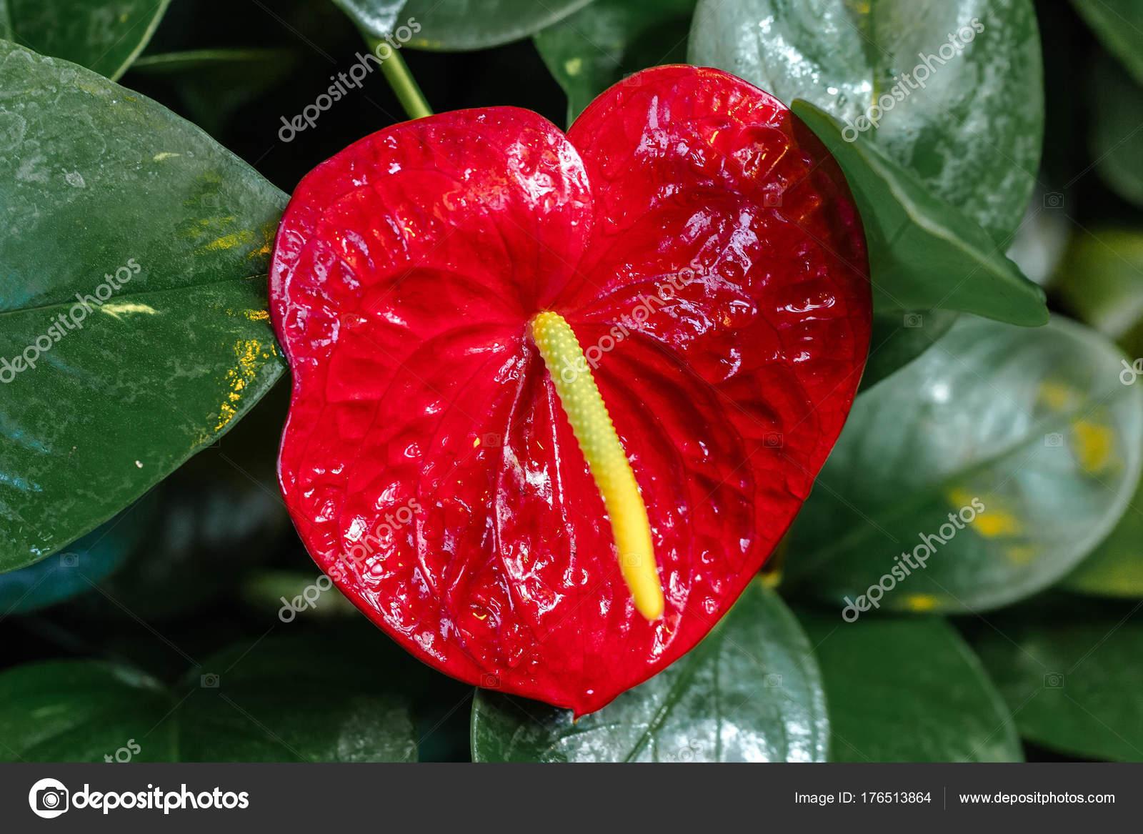 anthurium rouge — photographie yurkul © #176513864