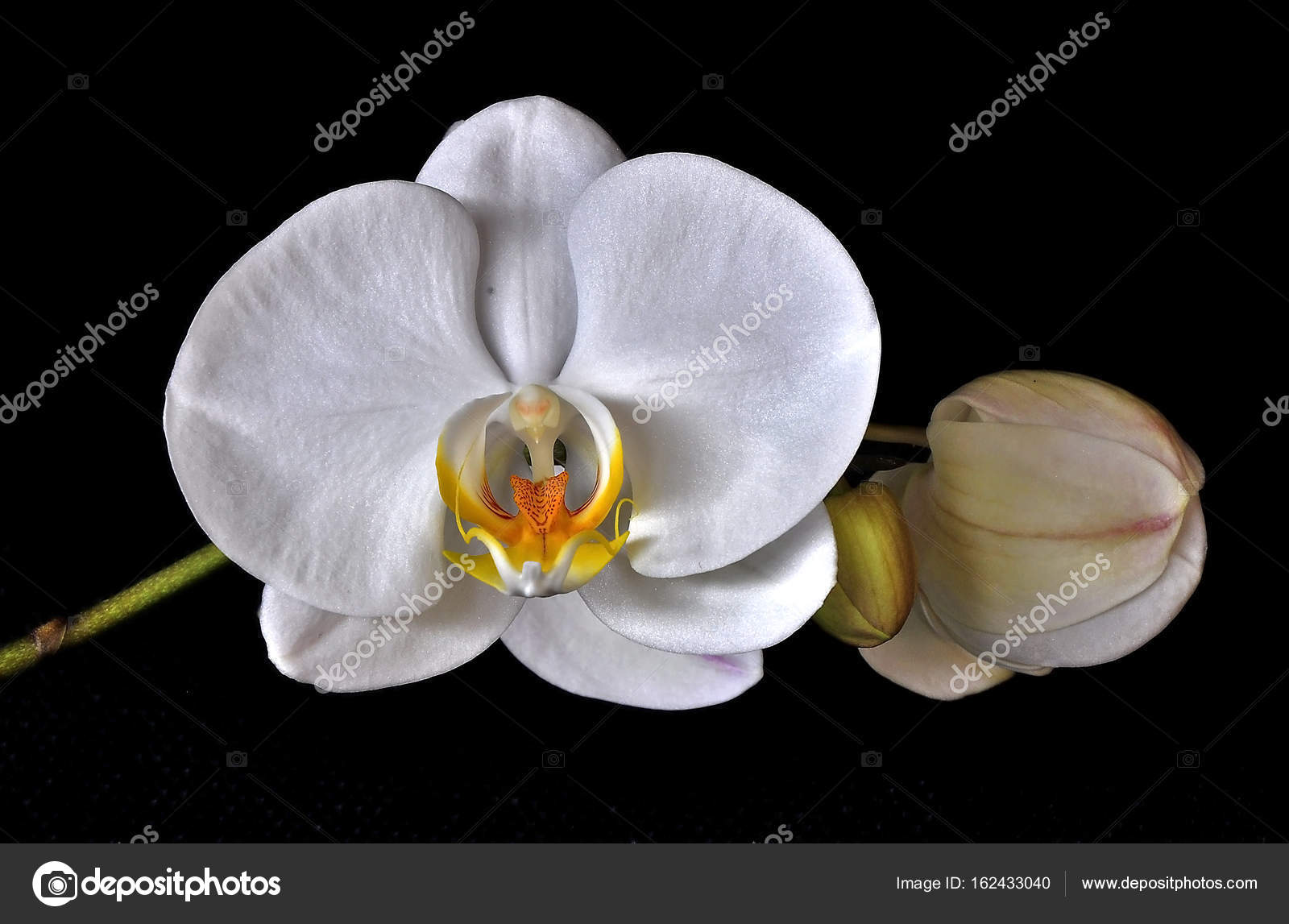 White Orchid Flower Stock Photo Sahmay 162433040
