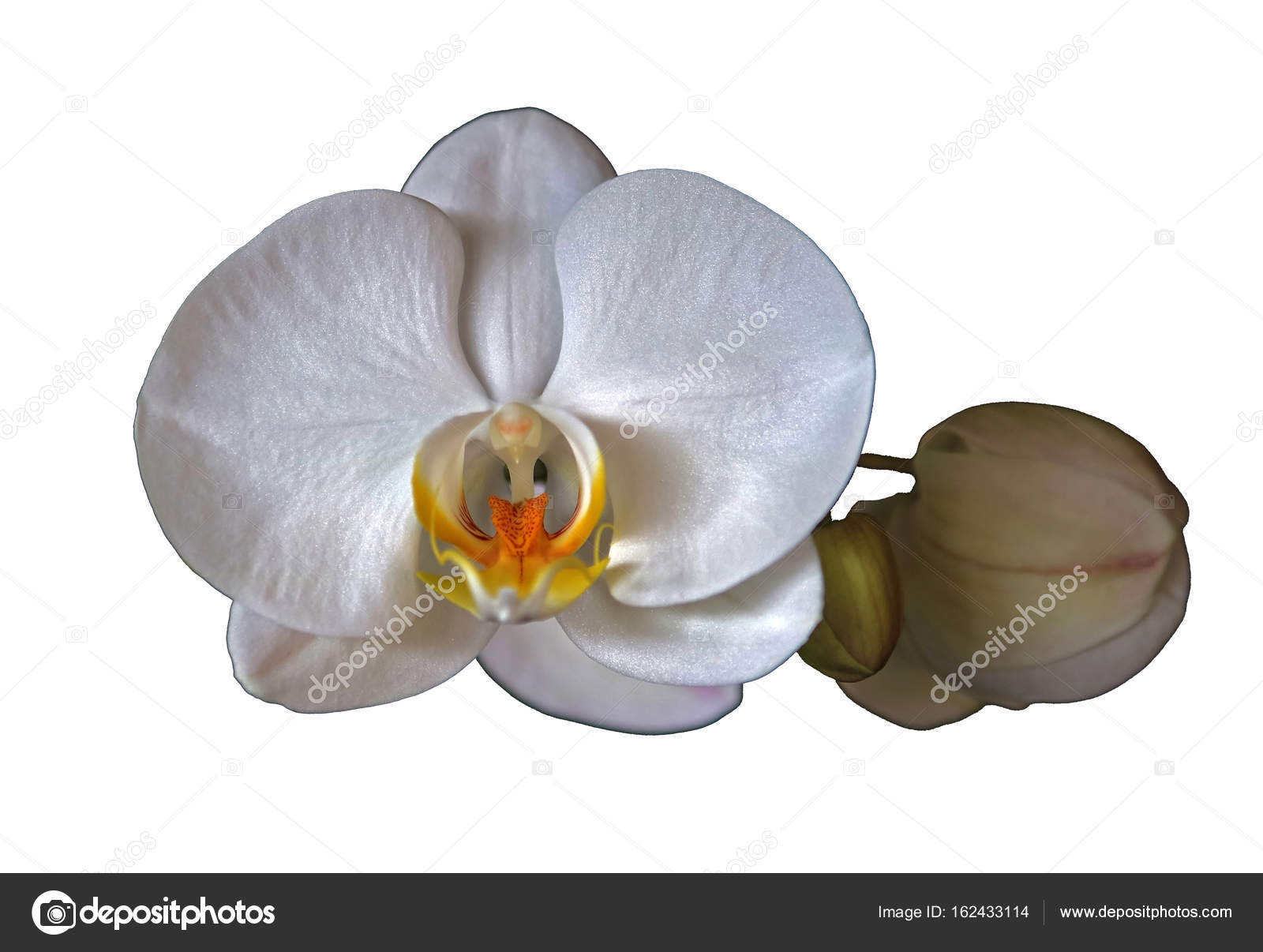 White Orchid Flower Stock Photo Sahmay 162433114