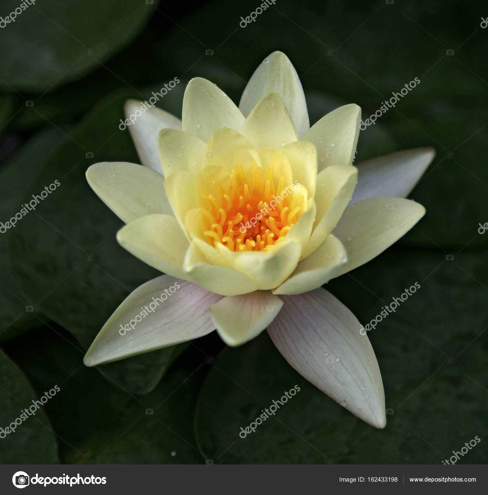 Isolated lotus flower stock photo sahmay 162433198 isolated lotus flower stock photo izmirmasajfo