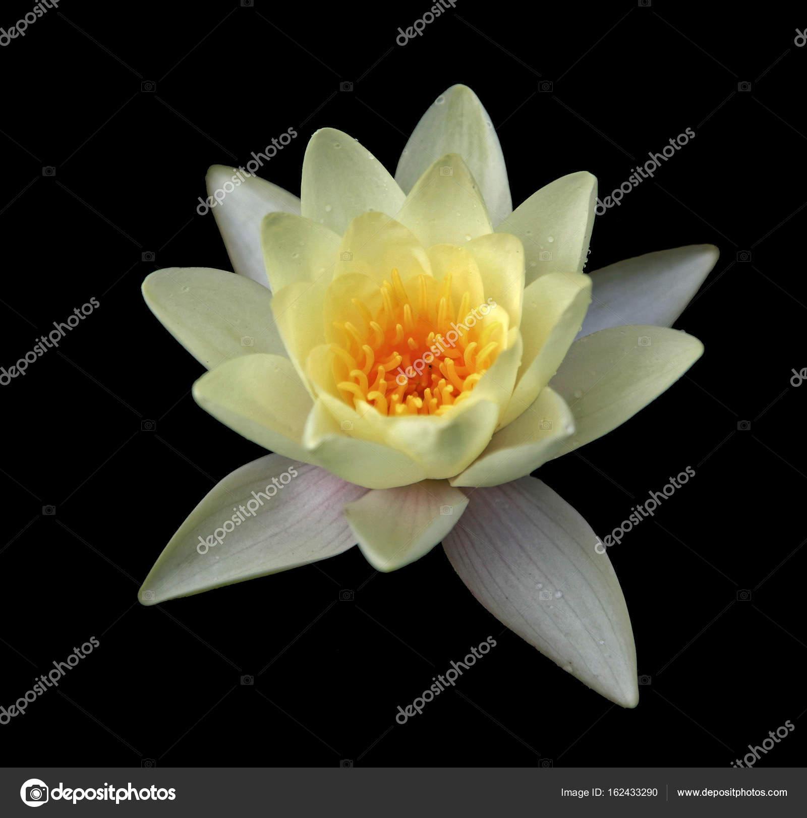 Isolated Lotus Flower Stock Photo Sahmay 162433290