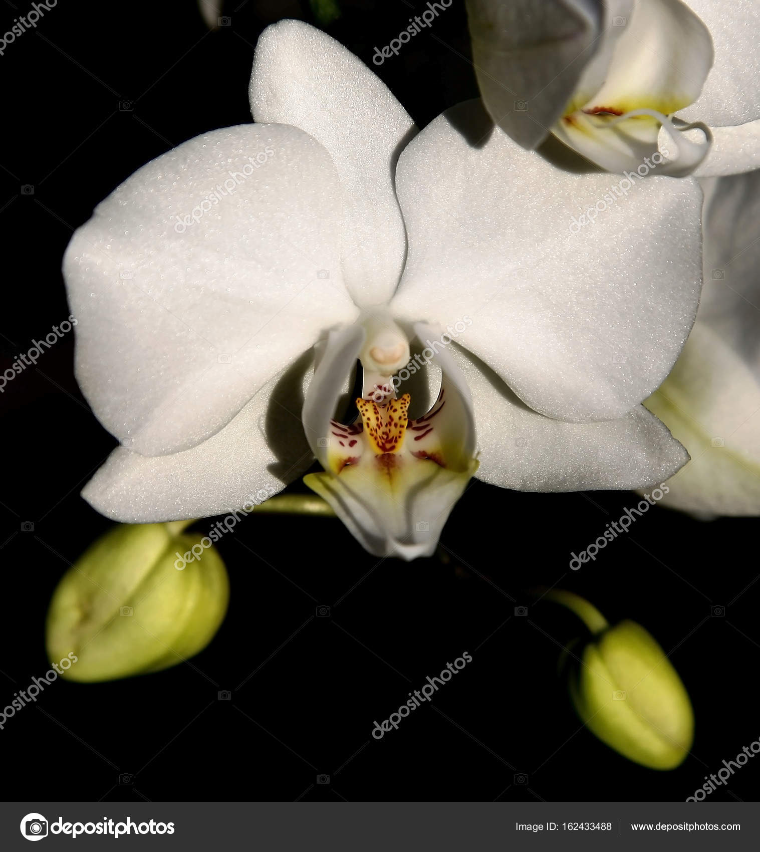 orchidee blanche culture