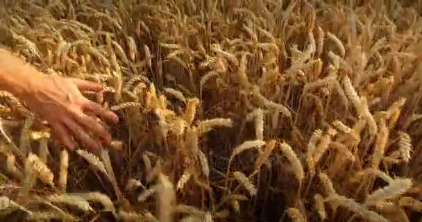 Mužova ruka průjezdem pšeničné pole