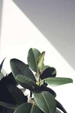 ficus plant with sunlight