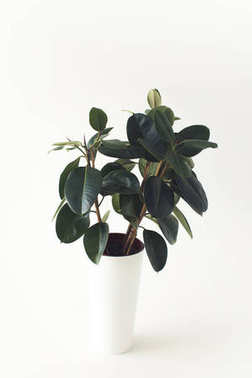 potted ficus plant