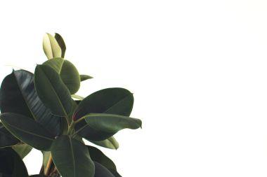Close up of green ficus plant, isolated on white with copy space, minimalistic style stock vector