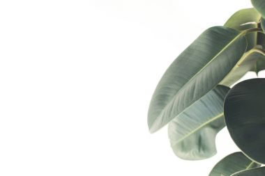 green ficus leaves