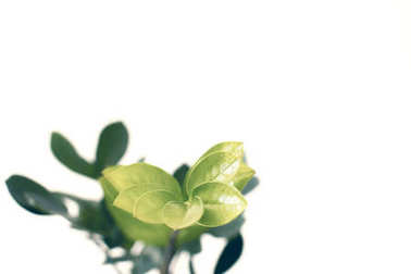 Selective focus of green ficus plant, isolated on white with copy space, minimalistic style stock vector