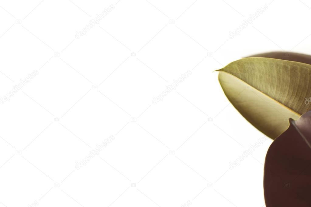 green ficus leaves