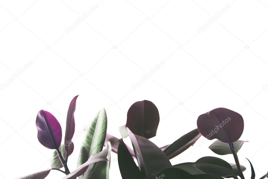 background with ficus plant