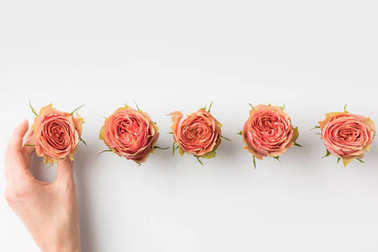 hand touching pink rose buds