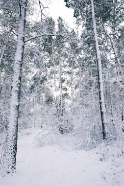 beautiful trees covered with snow in forest