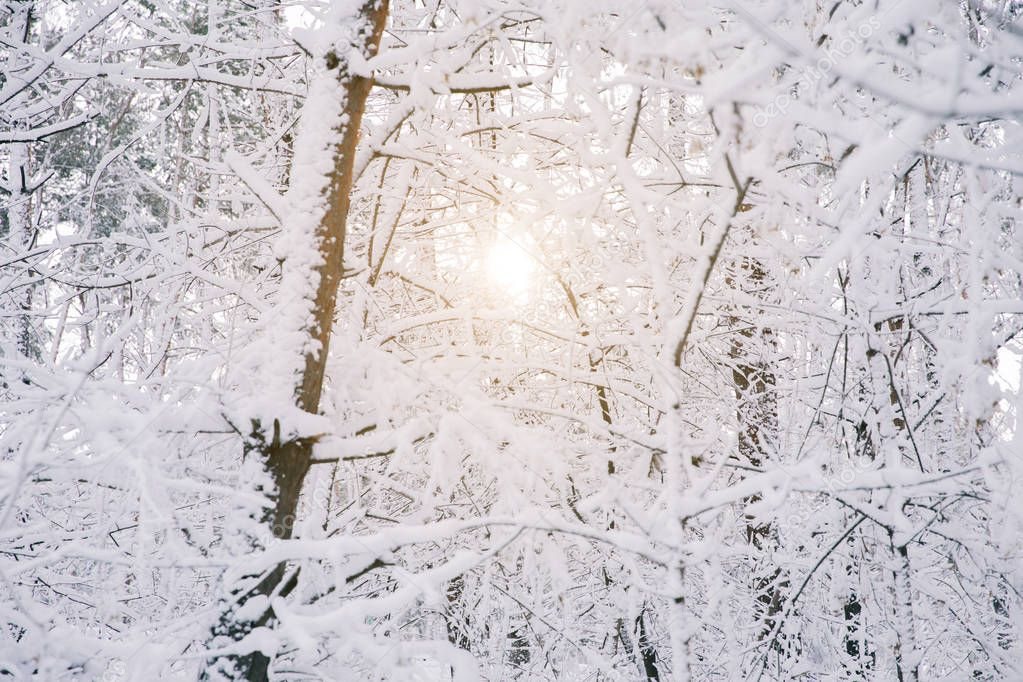 sun between trees covered with snow in forest