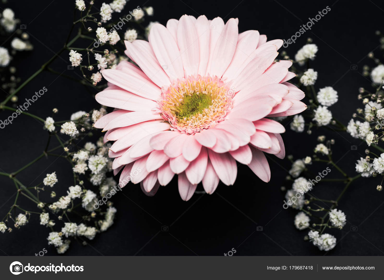 Pink Gerbera Small White Flowers Twigs Isolated Black Stock Photo