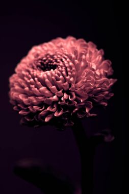 one beautiful burgundy flower isolated on black