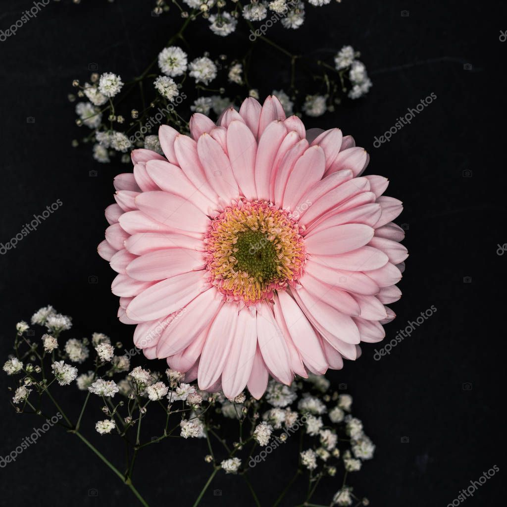 pink gerbera with small white flowers on twigs isolated on black