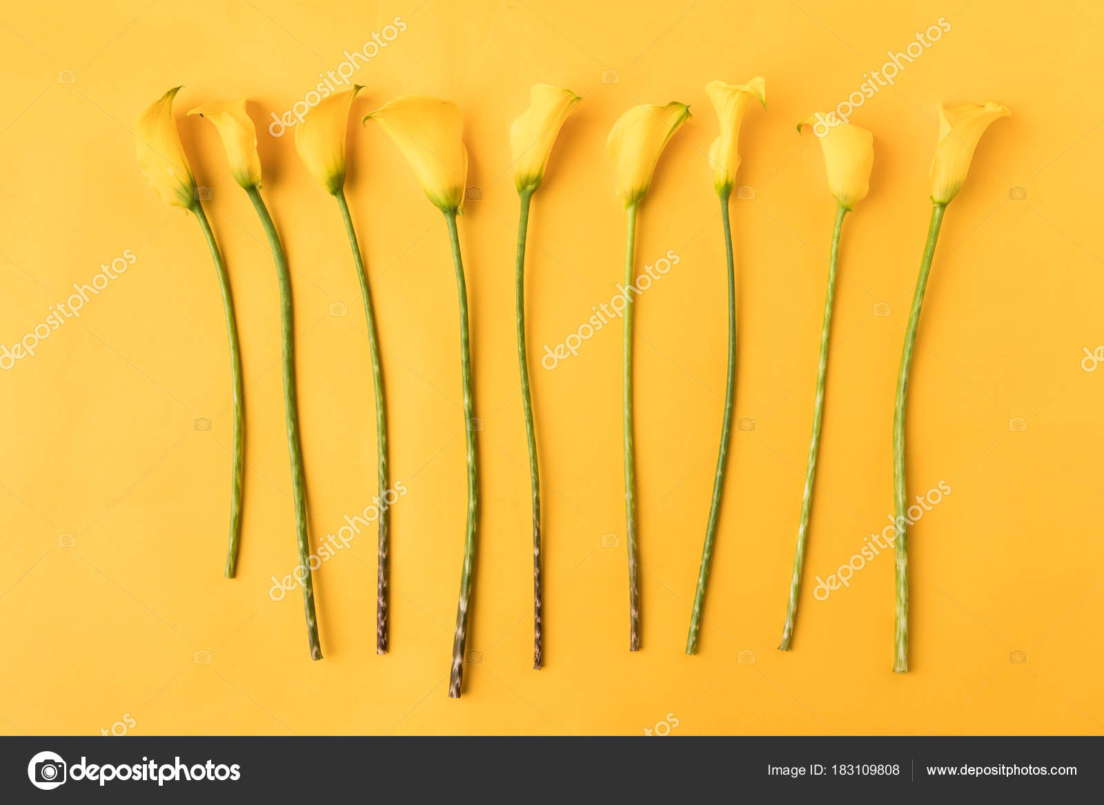Top View Beautiful Yellow Calla Lily Flowers Isolated Yellow Stock
