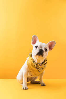 funny french bulldog sitting and looking at camera on yellow
