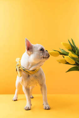 funny french bulldog sniffing beautiful yellow tulip flowers on yellow