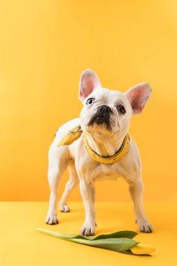 cute french bulldog with beautiful yellow tulip flower on yellow