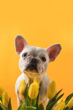 cute dog and beautiful yellow tulips isolated on yellow