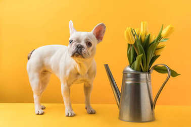 dog standing near watering can with beautiful yellow tulip flowers on yellow