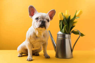 funny french bulldog sitting near watering can with yellow tulips on yellow