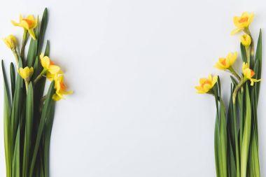 beautiful blooming yellow daffodils isolated on grey