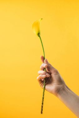 close-up partial view of person holding yellow calla lily flower isolated on yellow