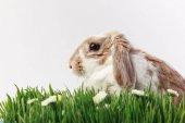 A nyúl, a fű szárak és a camomiles, a húsvéti koncepció oldalnézete