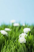 Camomiles and green grass isolated on blue