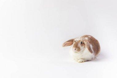 Studio shot of sitting bunny isolated on white